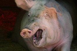 stuck pig squealing