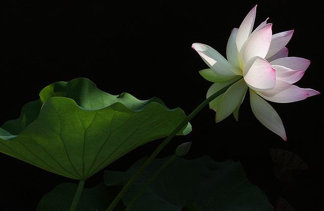 [lotus]